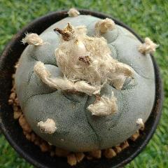 Peyote cactus 5.5cm diameter