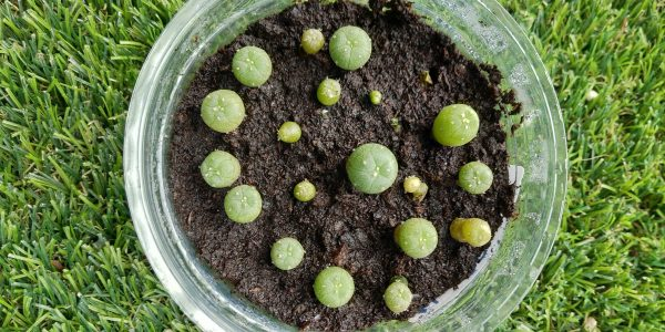 peyote seeds germination kit