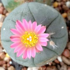 lophophora Fricii pink bloom peyote