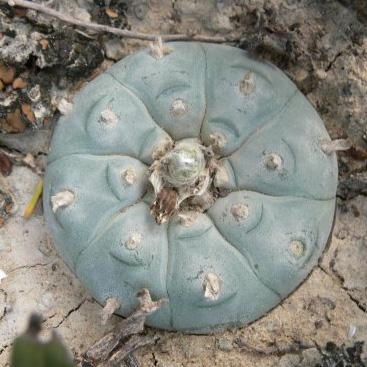 Lophophora williamsii variety Starr County sb 854 peyote seeds