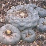Lophophora-williamsii-Peyote-Starr-County-Texas-Grandmother-and-younger-plants_Q320