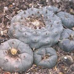 Lophophora williamsii variety El Carmen peyote seeds