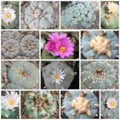 lophophora williamsii 3 different varieties peyote seeds