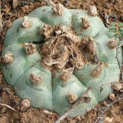lophophora williamsii variety Tecolote peyote seeds