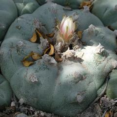 lophophora williamsii variety huizache el entronque peyote seeds