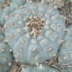 lophophora williamsii variety menchaca peyote seeds