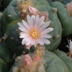 Lophophora williamsii variety Cardona peyote seeds