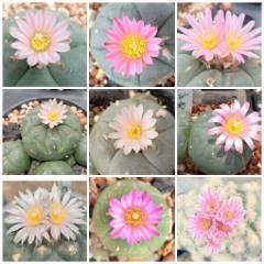 lophophora williamsii unknown varieties peyote seeds