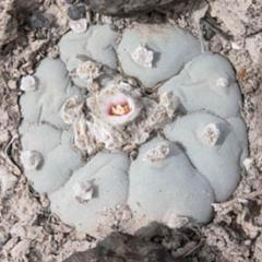 lophophora williamsii variety El Oso peyote seeds