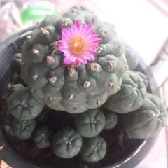 Lophophora williamsii variety jourdaniana peyote seeds