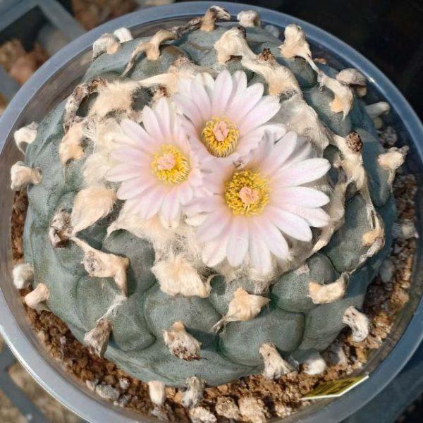 Lophophora williamsii variety El Milagro de guadalupe peyote seeds
