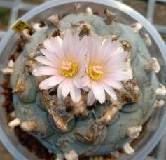 lophophora williamsii variety El Milagro de guadalupe san luis potosi peyote seeds