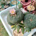Lophophora williamsii variety Jim Hogg county