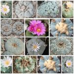 Lophophora Williamsii different localities