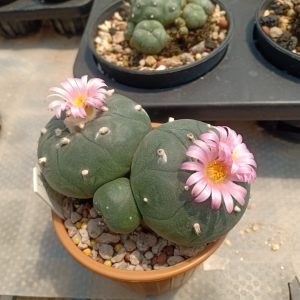 lophophora fricii cv Ibo Ginkamuri peyote seeds