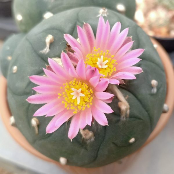 Lophophora fricii cv Ibo Ginkamuri double headed peyote seeds
