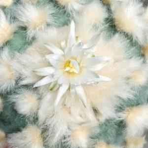 lophophora diffusa cv koike