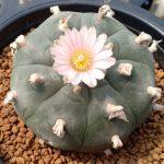 Lophophora Williamsii variety Pluricostata Peyote cactus