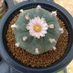 The best pot for peyote