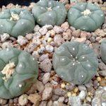 Lophophora Koheresii Heinz Swoboda San Bartolo San Luis Potosi peyote seeds