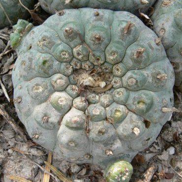 Lophophora Williamsii Texas Mirando city loc webb county Peyote seeds