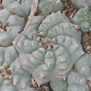 Lophophora williamsii variety Huizache El Coyote peyote seeds
