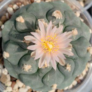 Lophophora Koehresii Peyote seeds