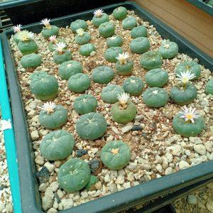 Lophophora Fricii peyote