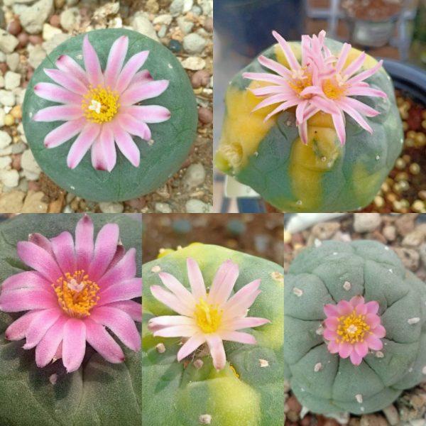 Lophophora Fricii mix varieties peyote seeds